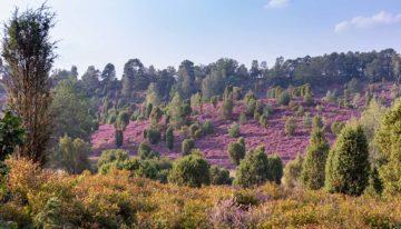 Wann die Lüneburger Heide am schönsten ist – zur Heideblüte