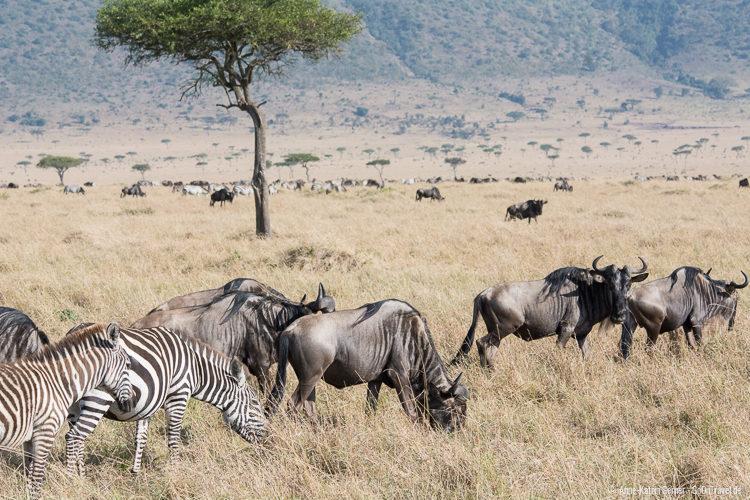 Zebras und Gnus in der Maasai Mara/Kenia