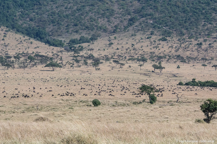 Gnuherde im Mara Triangle