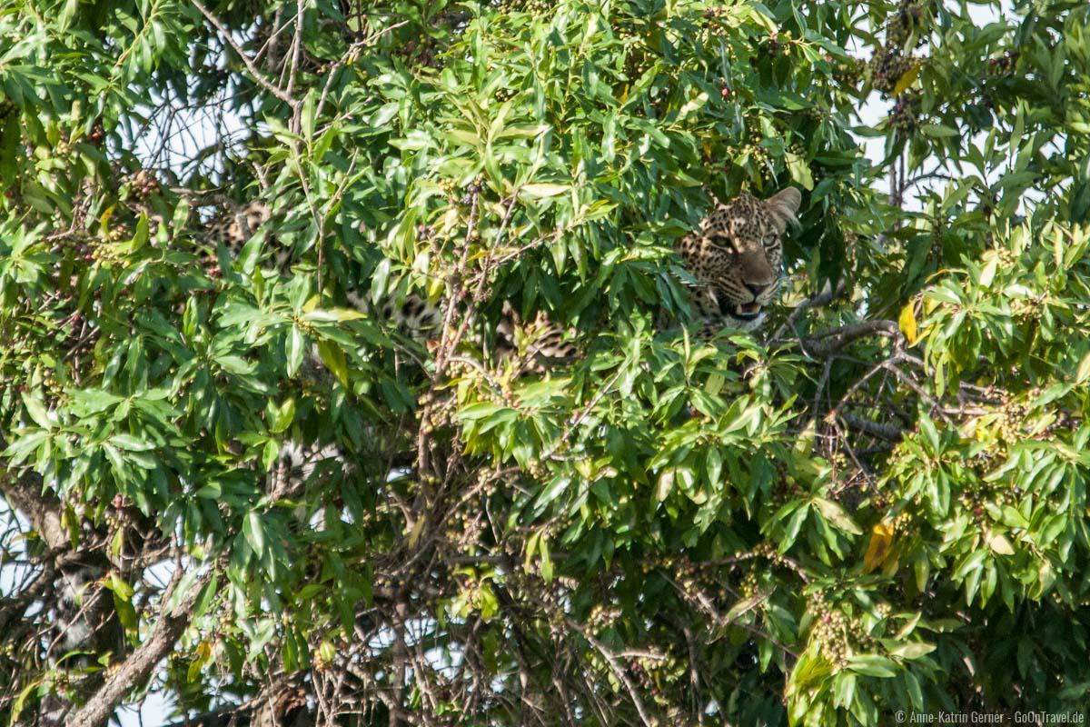 Leopard im Baum in der Maasai Mara