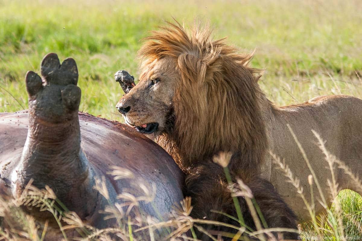 Löwenmännchen mit erlegtem Flusspferd