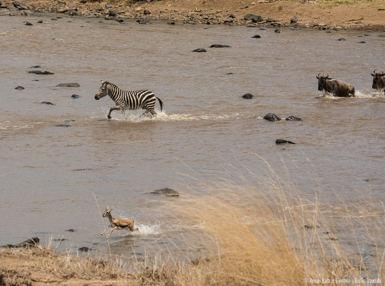 "Zebras, Thompson Gazellen und Gnus beim ""River crossing"""