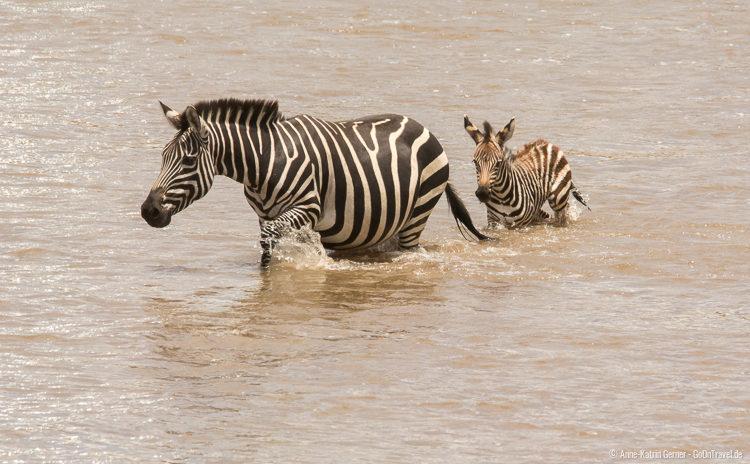 Zebrafamilie bei der Flussüberquerung