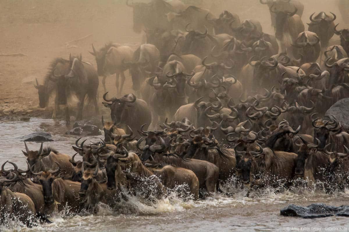 Die große Tierwanderung findet von Juli bis Oktober in der Maasai Mara statt
