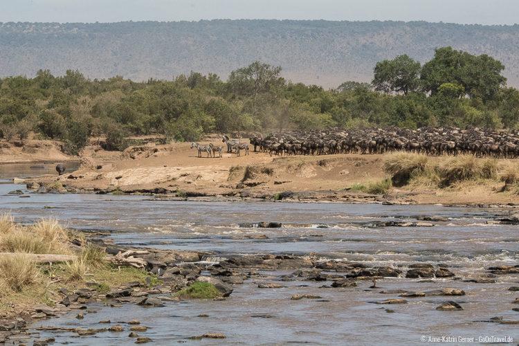 Gnus und Zebras am Mara Fluss