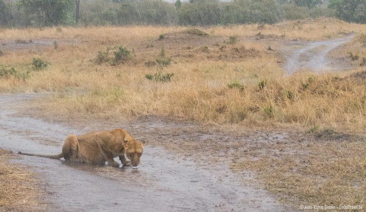 durstige Löwin im Regen