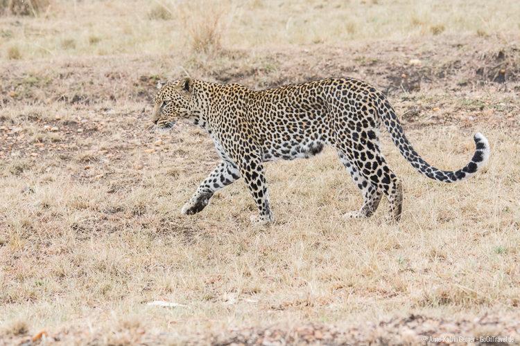 der scheue Leopard