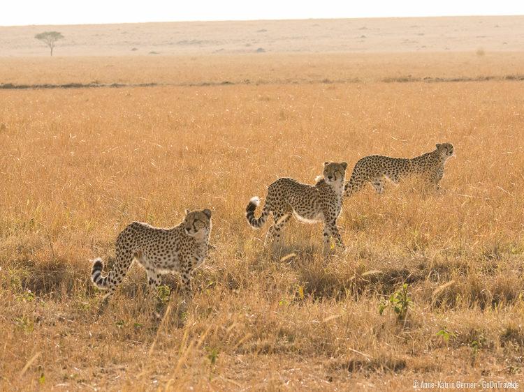 Geparden in der Maasai Mara