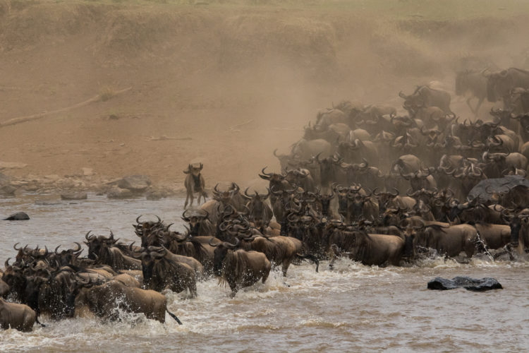 Gnuherde am Mara Fluß