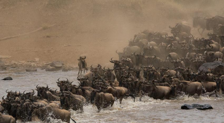 Big Migration: Die große Tierwanderung in der Maasai Mara