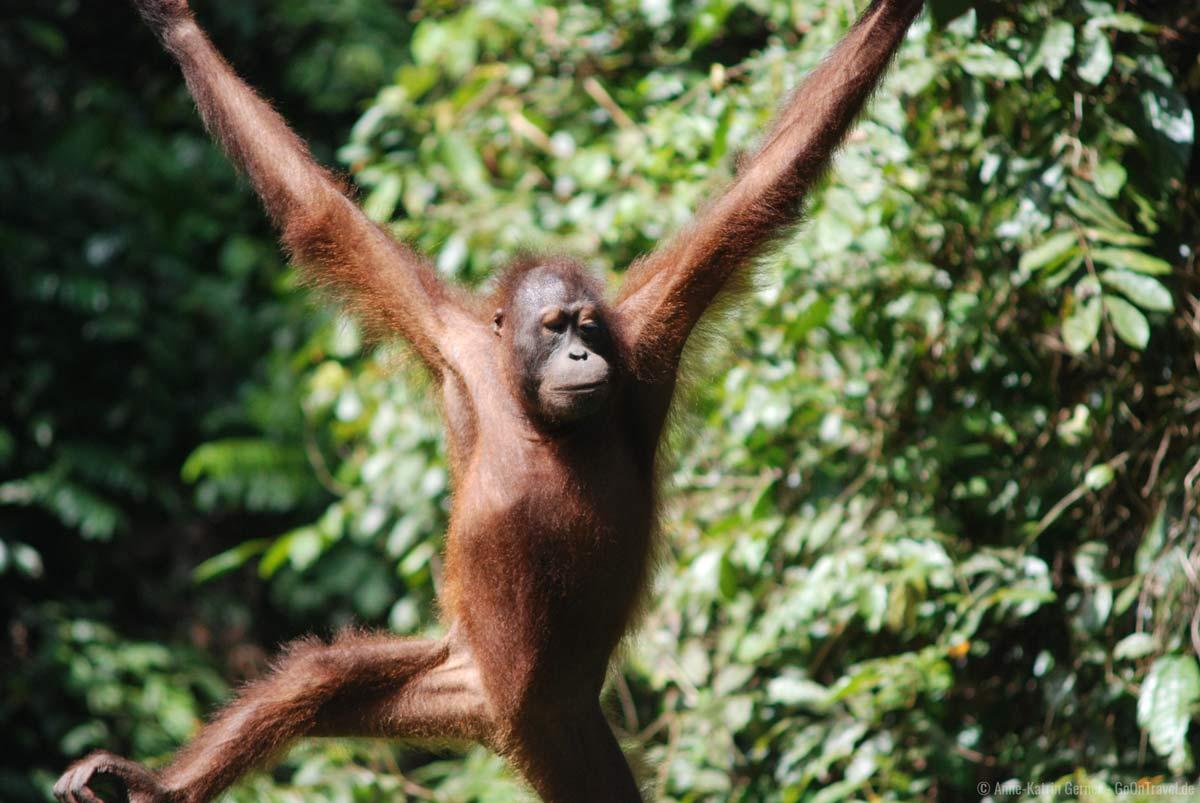 Orang-Utan in Sepilog auf Borneo