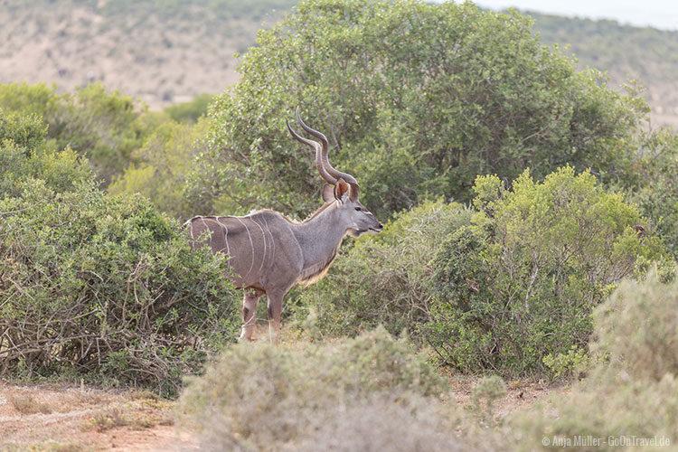 Ein männliches Kudo im Addo Elephant Park.
