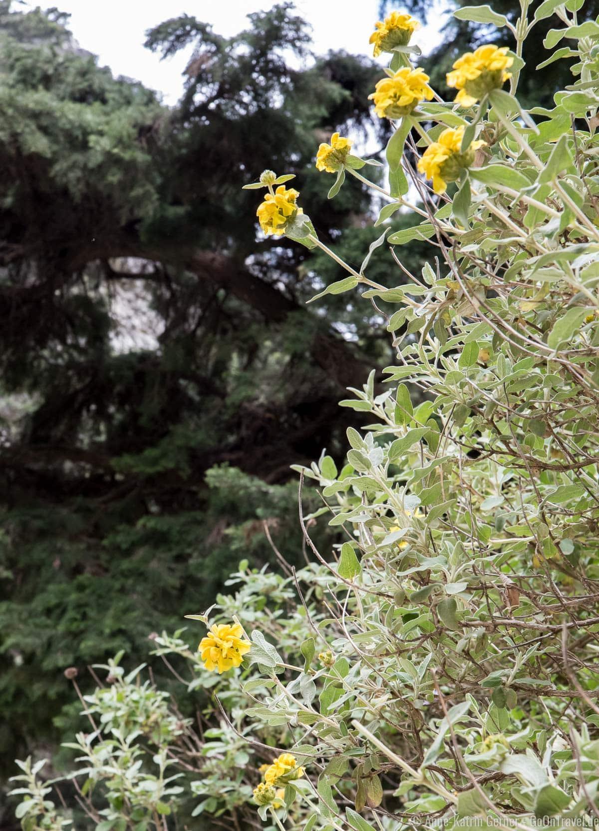 wildwachsende Malotira in der kretischen Imbros Schlucht