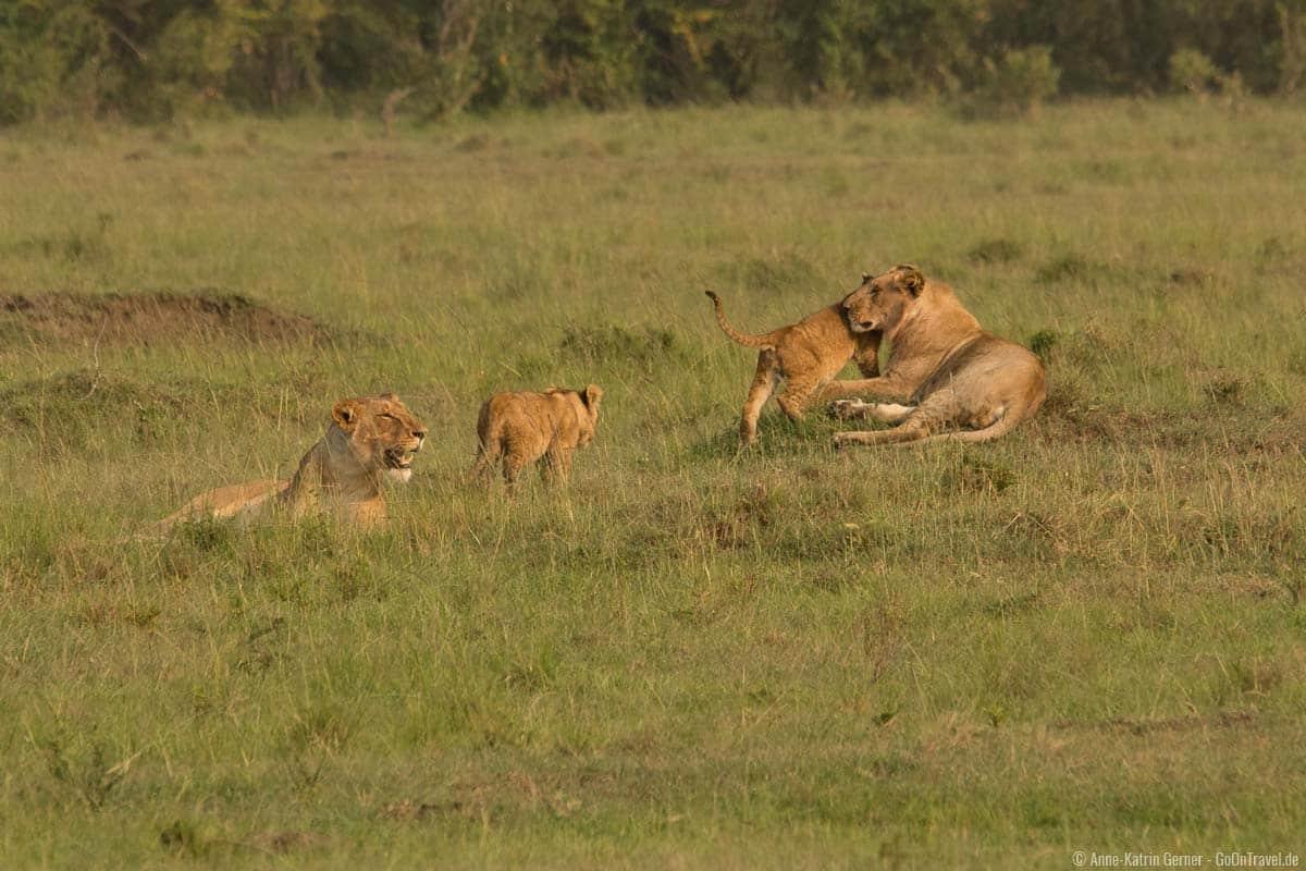 Löwenrudel im Mara Triangle
