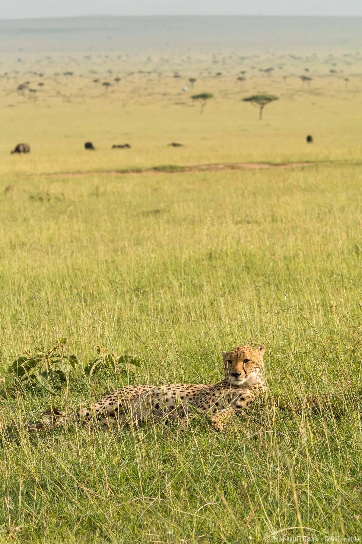 Die schnellste Raubkatze der Welt - Gepard in den Ebenen der Mara