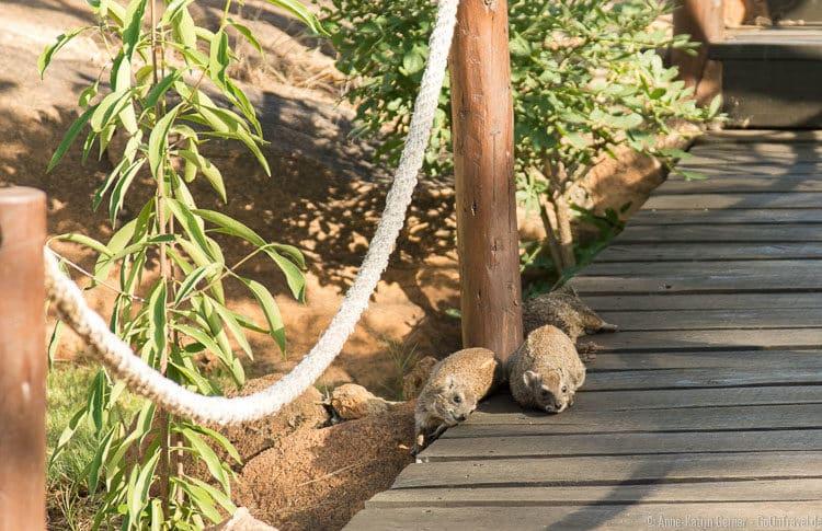 Klippschliefer lümmeln auf dem Weg zum Pool