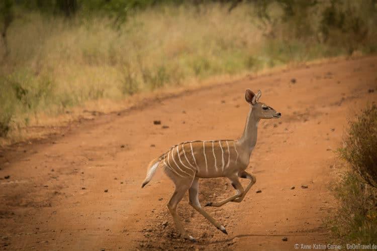 der scheue Kleine Kudu im Meru NP
