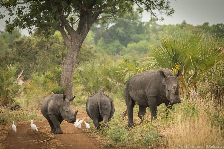 Breitmaulnashörner beim Überqueren des Weges