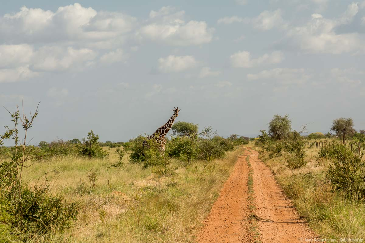 Netzgiraffe am Wegesrand im Meru Nationalpark