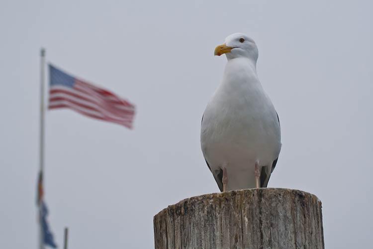 Möwe mit amerikanischer Flagge im Hafen von Monterey