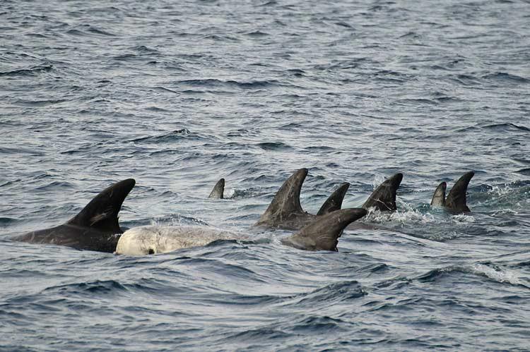 Risso-Delfine vor Monterey