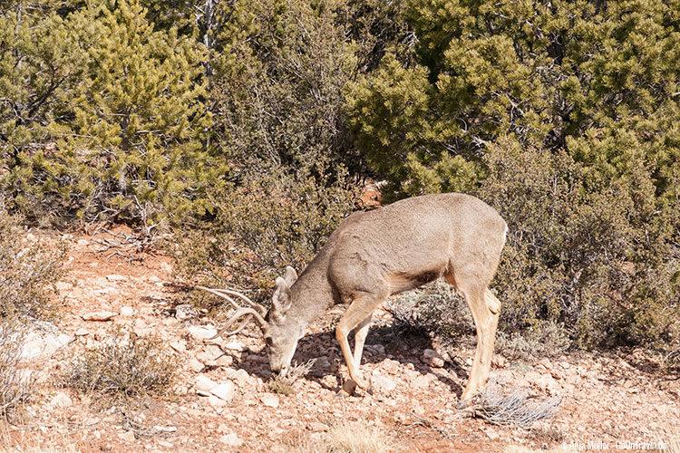 Ein Mule Deer grast vor dem Gebüsch.