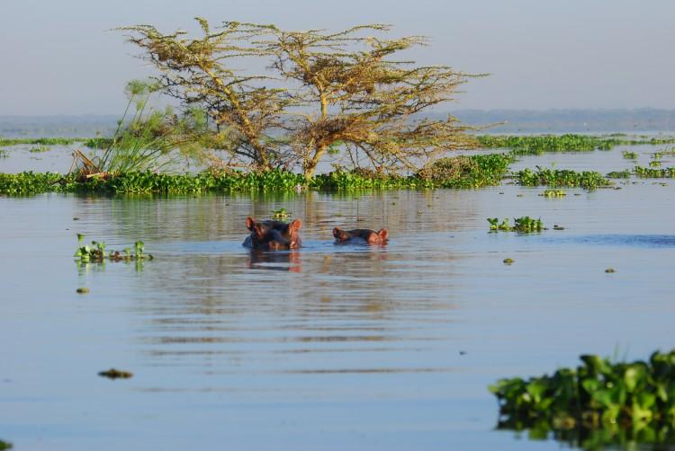 Flußpferde im Lake Naivasha