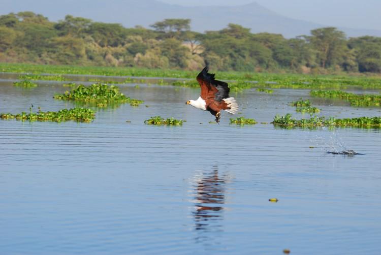 afrikanischer Fischadler mit Beute