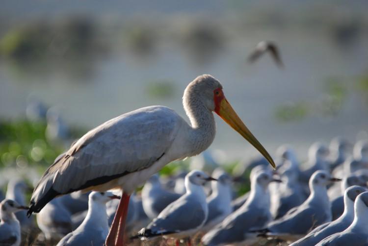 ein Storch unter Möwen am Lake Naivasha
