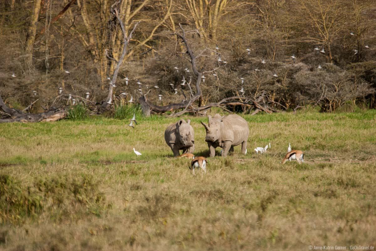 Breitmaulnashörner im Lake Nakuru Nationalpark