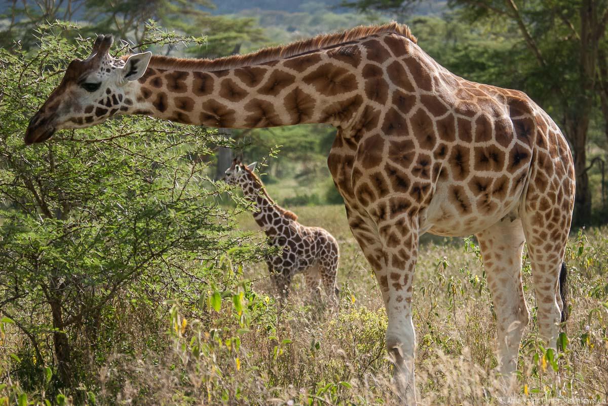Die seltenen Rothschild-Giraffen leben im Nakuru Nationalpark