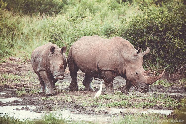 Nashörner im Hluhluwe-iMfolozi-Park in Südafrika