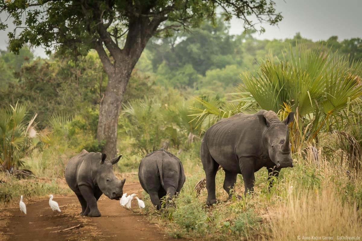 Breitmaulnashörner lassen sich im Meru Nationalpark auch beobachten