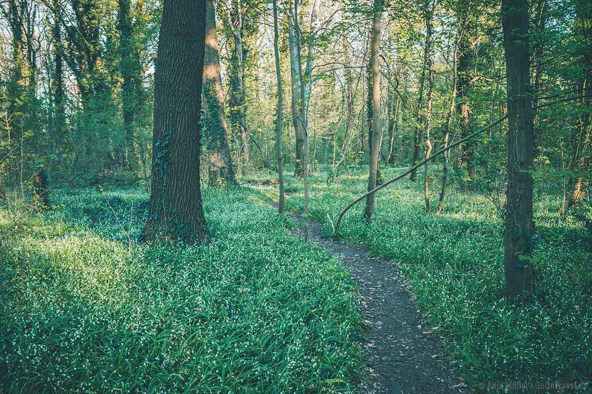 Im Frühling blüht im Plänterwald der Bärlauch