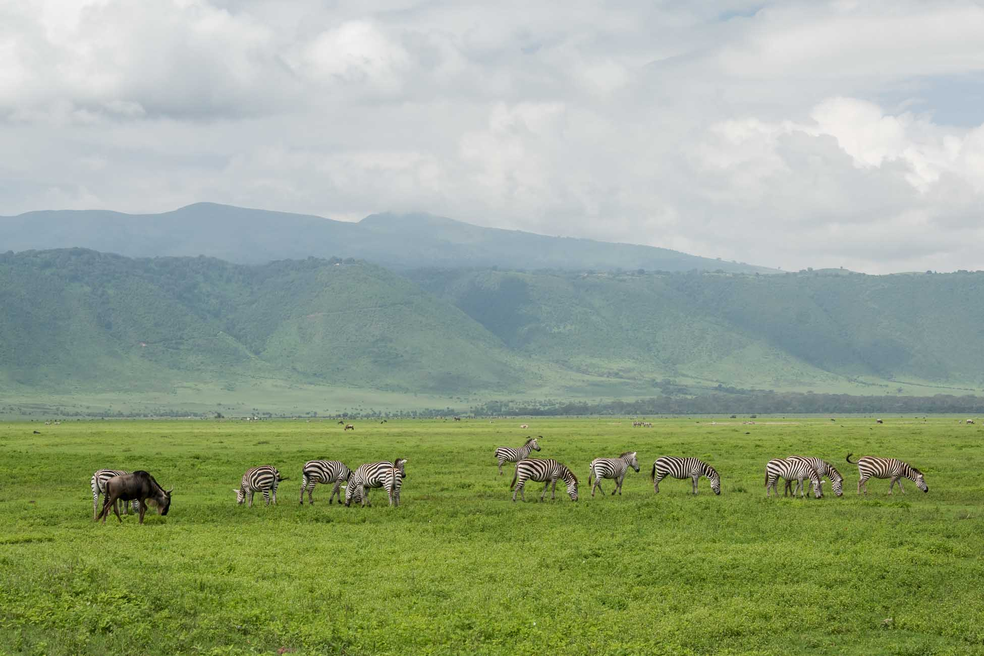 Ngorongoro Krater am Morgen Zebras