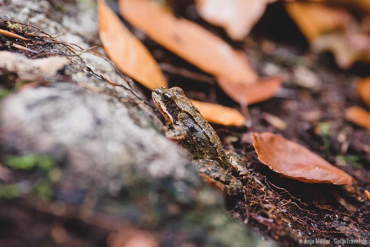 Moorfrosch im Nonnenfließ
