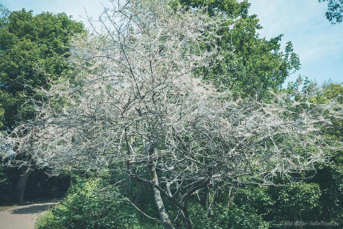 Viele Bäume in der Hasenheide sind mit Spinnenweben überzogen