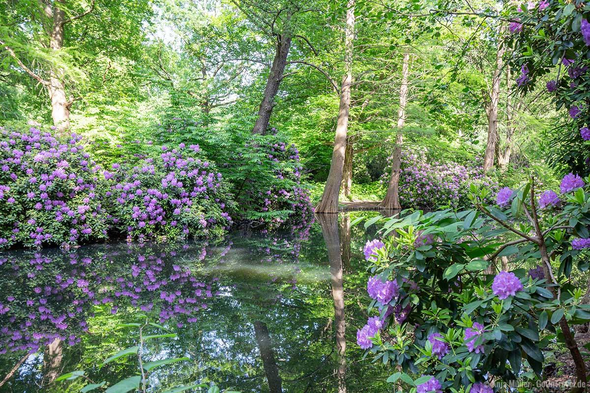 Rhododendronblüte im Tiergarten
