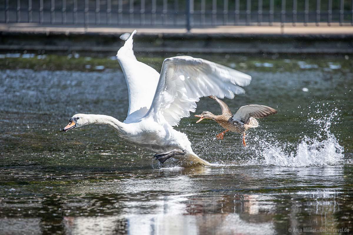 Ente jagt Schwan, ein eher ungewöhnliches Bild