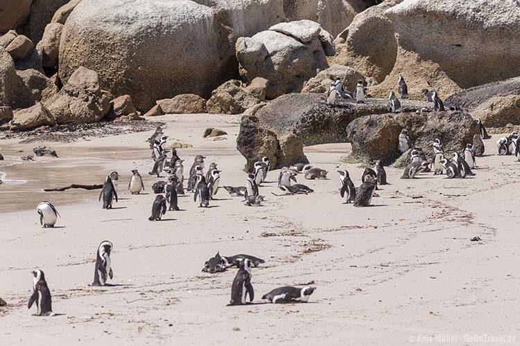 Pinguine beobachten am Boulders Beach