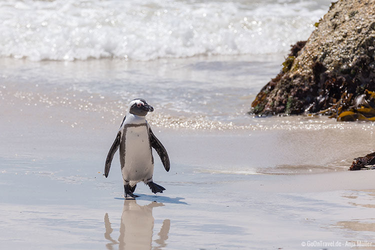 Ein Pinguin am Foxy Beach