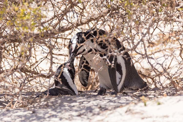 Ein brütendes Pinguin Paar im Busch