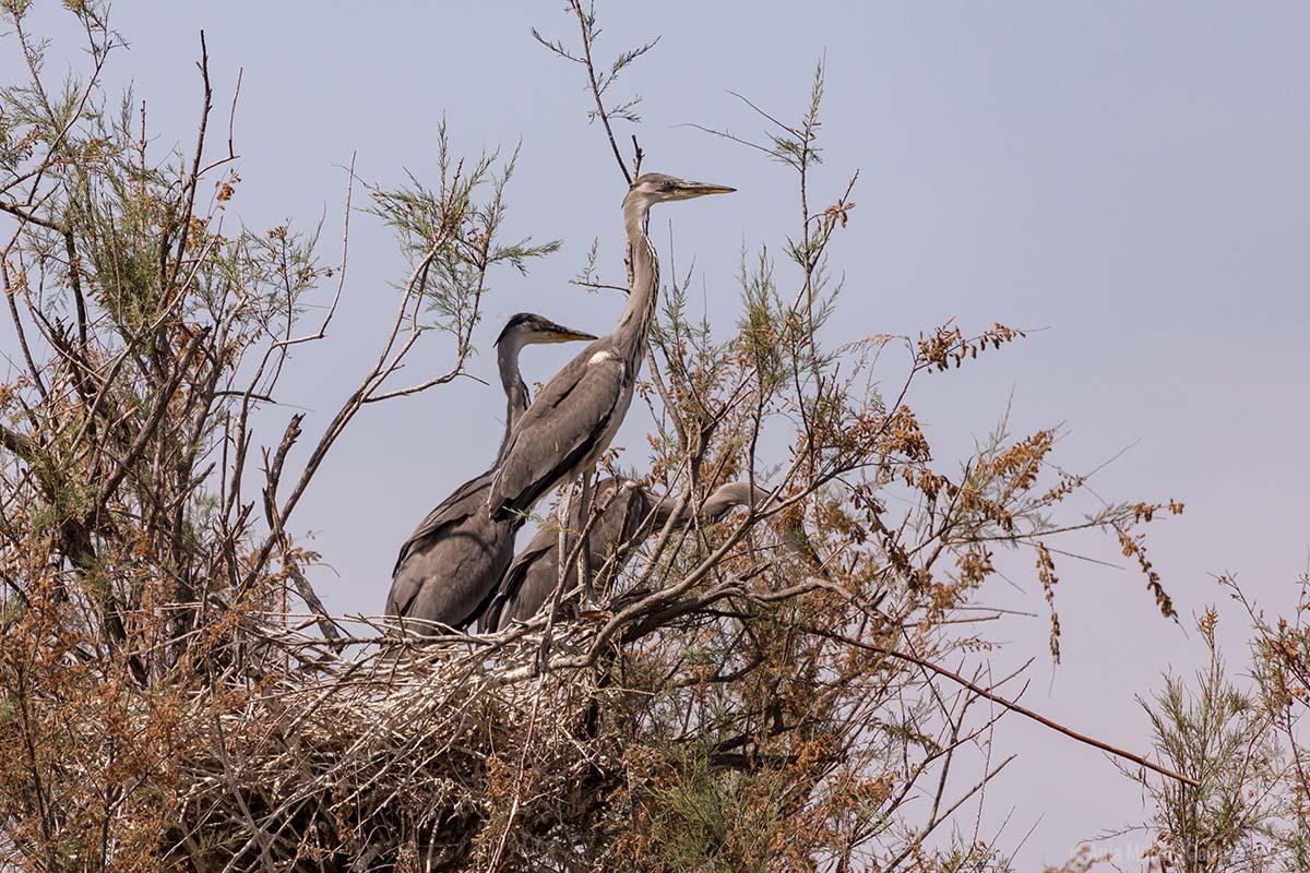 Fischreiher in einem Nest