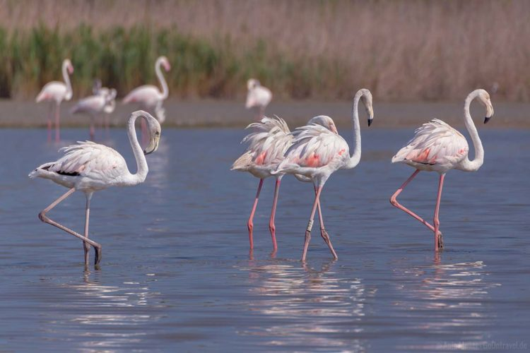 Provence Flamingos Camargue_Frankreich