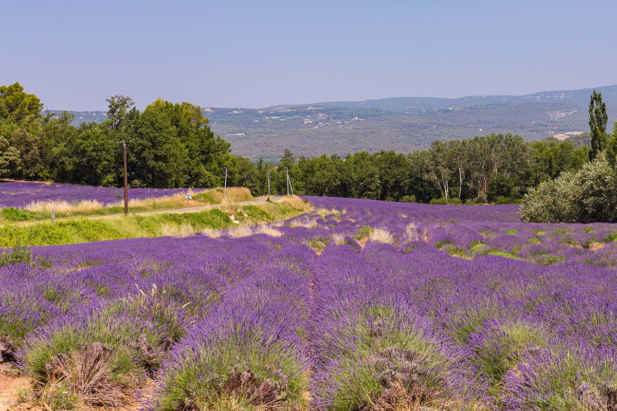 Lavendelfelder an der D2 zwischen Roussillon und Gordes