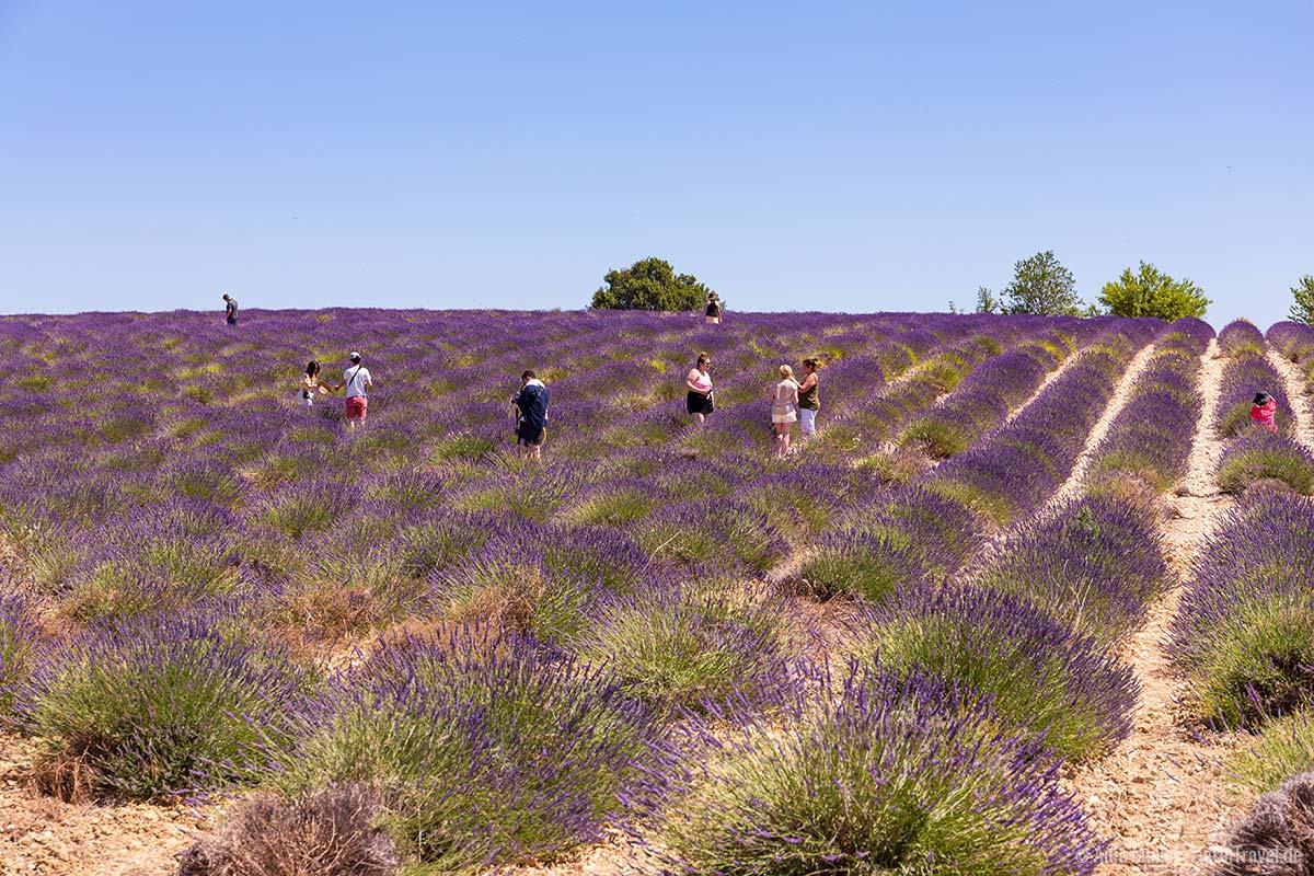 Massentourismus im Lavendelfeld