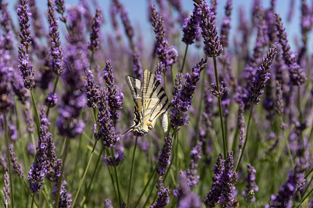Lavendelblüte mit Schmetterling