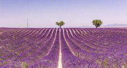Lavendelfelder in der Provence: Beste Reisezeit zur Lavendelblüte