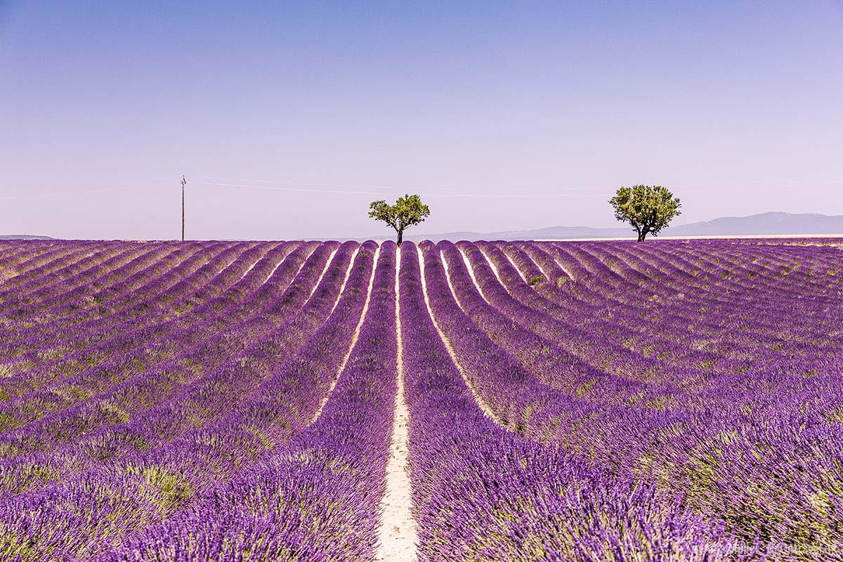 Eines der berühmtesten Lavendelfelder in der Provence
