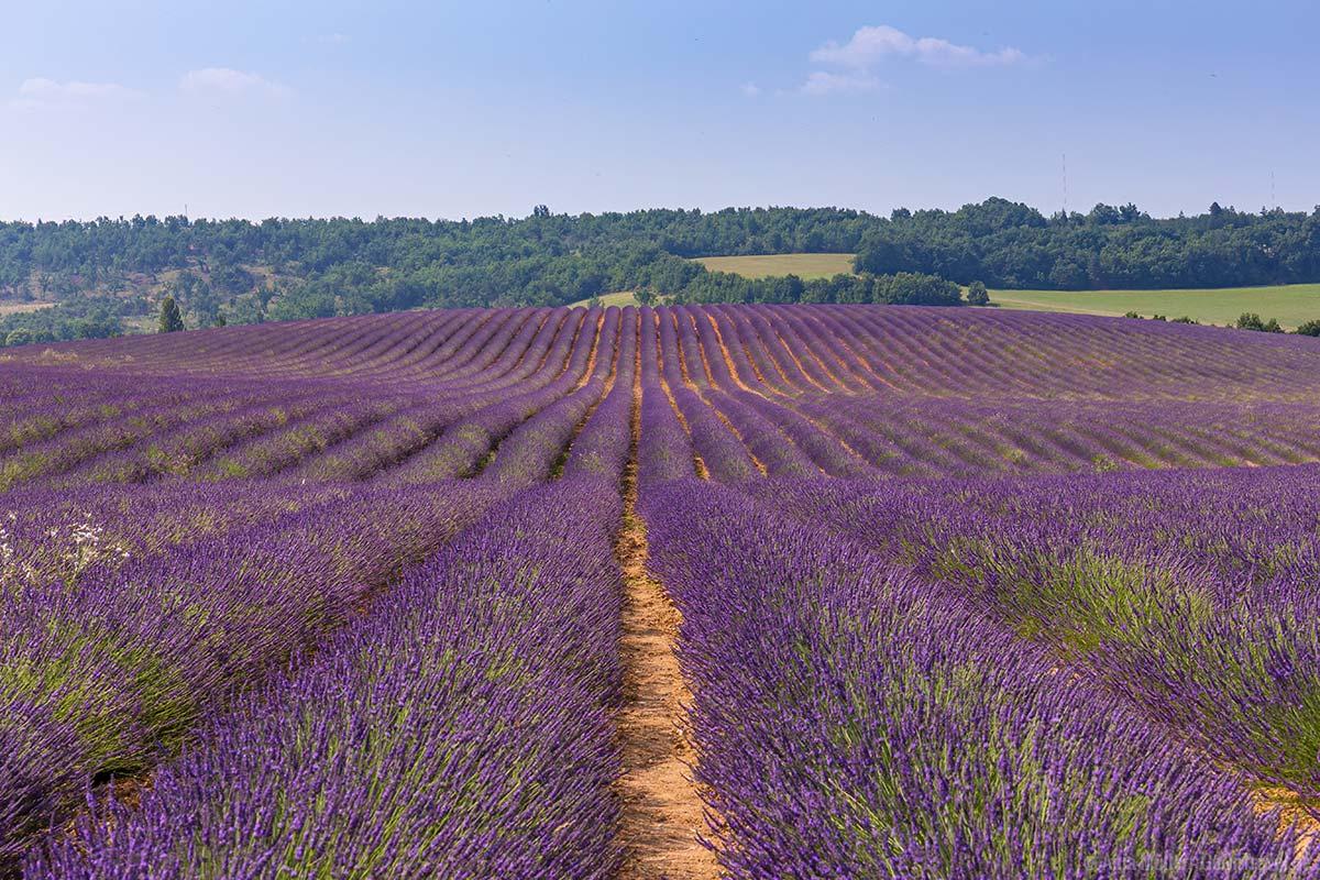 Lavendelfeld an der D56 nach dem Ort Puimoisson